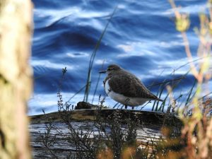Join Us common sandpiper