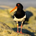 Oystercatchers - Pied Oystercatcher