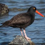 Oystercatchers - Black Oystercatcher