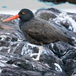 Oystercatchers - Blackish Oystercatcher