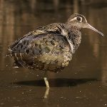 Painted-snipes - Greater Painted-snipe