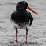 Oystercatchers - Variable Oystercatcher
