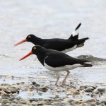 Oystercatchers - Magellanic Oystercatchers