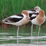 Avocets and Stilts American Avocet