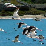 Avocets and Stilts - Banded Stilt