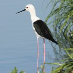 Avocets and Stilts - Black-winged Stilt