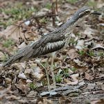 Stone-curlews and Thick-knees - Bush Stone-curlew