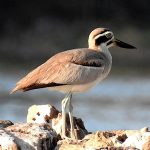 Stone-curlews and Thick-knees - Great Stone-curlew