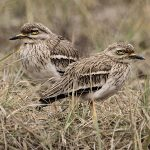 Stone-curlews and Thick-knees - Indian Thick-knee