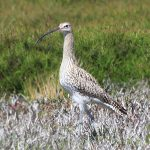 Curlews and Godwits