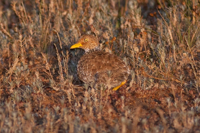 Plains-wanderer (1) CC Ron Knight